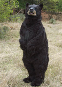 Realistic Black Bear creature costume