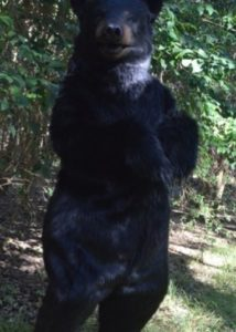 Realistic Jet Black Bear special effects creature suit