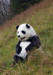 Manchu The Animatronic Special Effects Panda Costume By Mascot Ambassadors