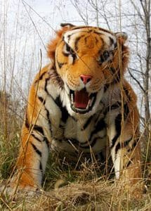 realistic tiger suit for hire