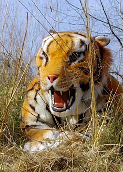 realistic tiger mascot prop hire